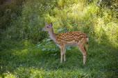 承德避暑山庄鹿