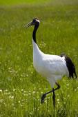 黑龙江,齐齐哈尔扎龙自然保护区,